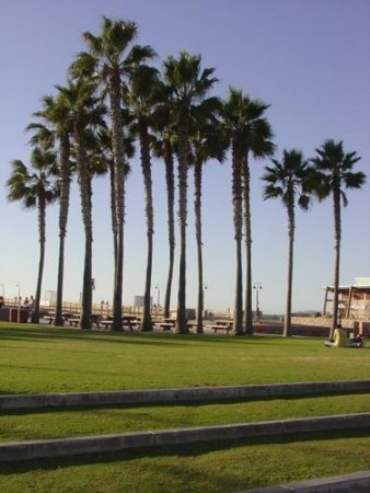Palm Trees in California - johnnyfromca